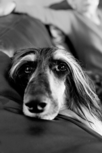 Afghan-Hound-Palm-Springs-Pet-Portrait