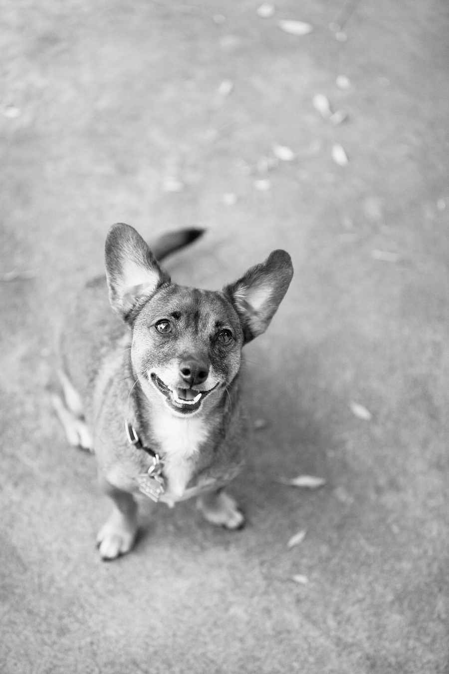 Chihuahua-Mixed-Breed-Funny-Ears-Photo