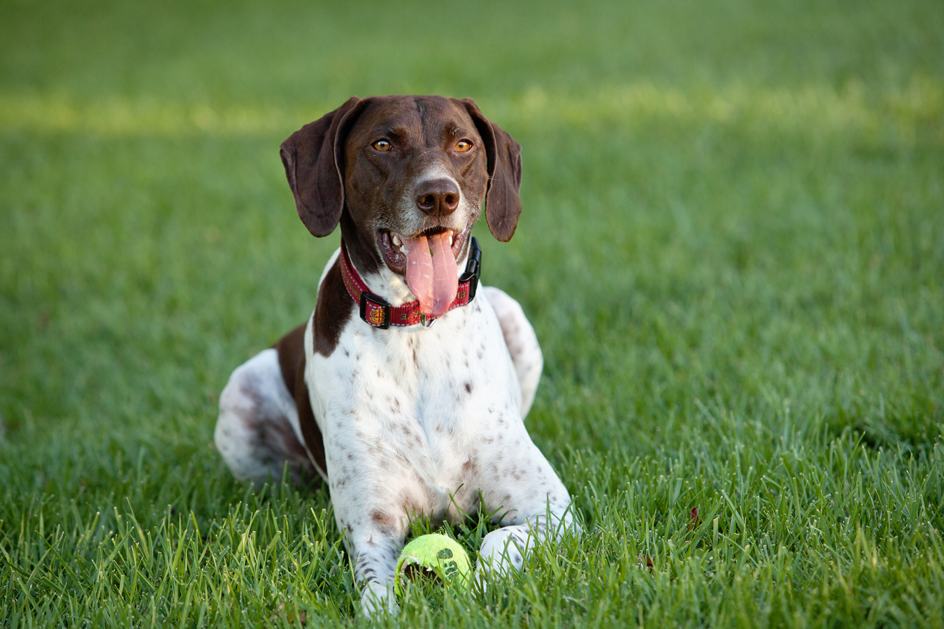 German-Shorthair-Pointer-Dog-Photo