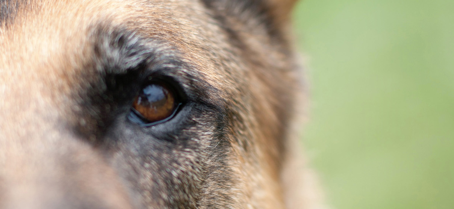 German_Shepherd-Closeup-Face-Eyes