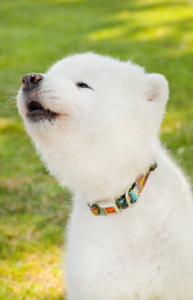 Pet-Photo-Session-Samoyed-Yorba-Linda