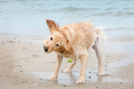 Photo-Golden-Retreiver-Shaking-Water-Beach