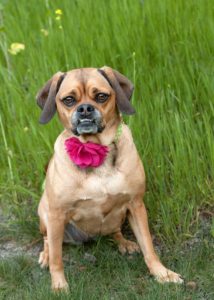 Puggle-Dog-Picture-Anaheim-Hills