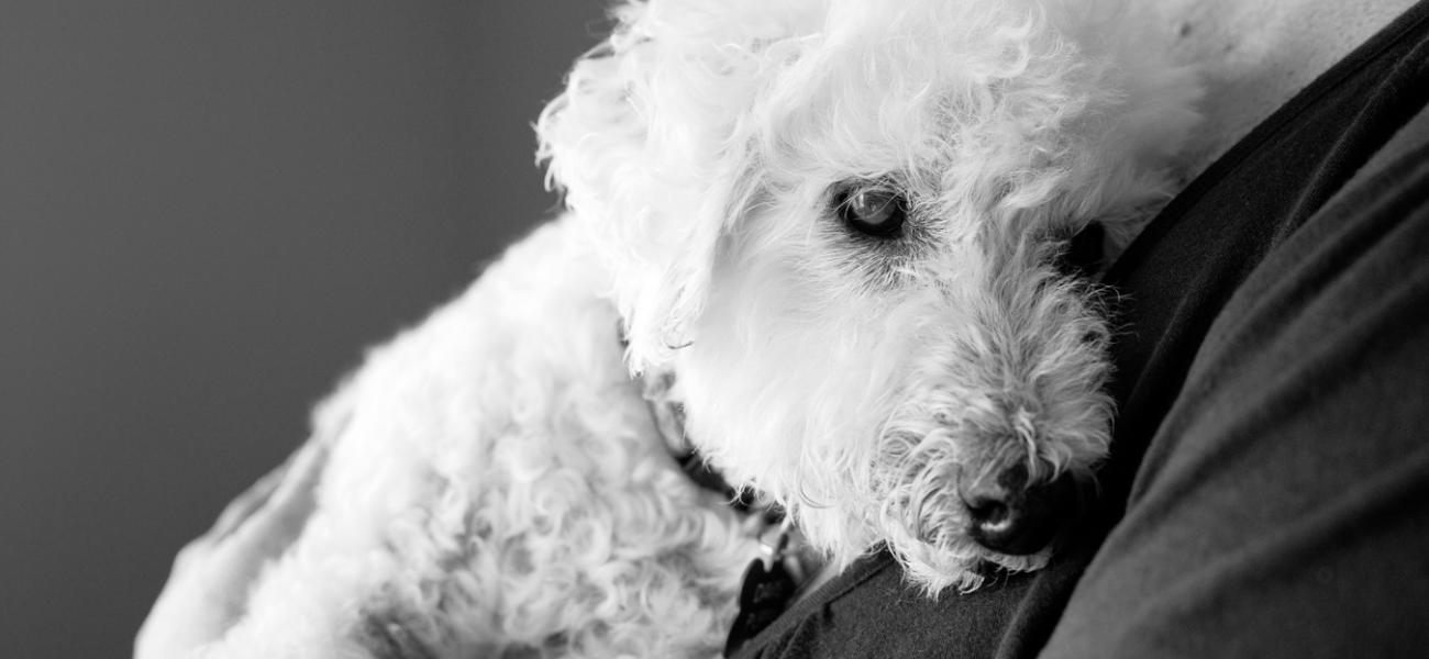 Senior-Poodle-Dog-Photography