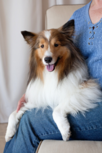 Sheltie-Sitting-Lap
