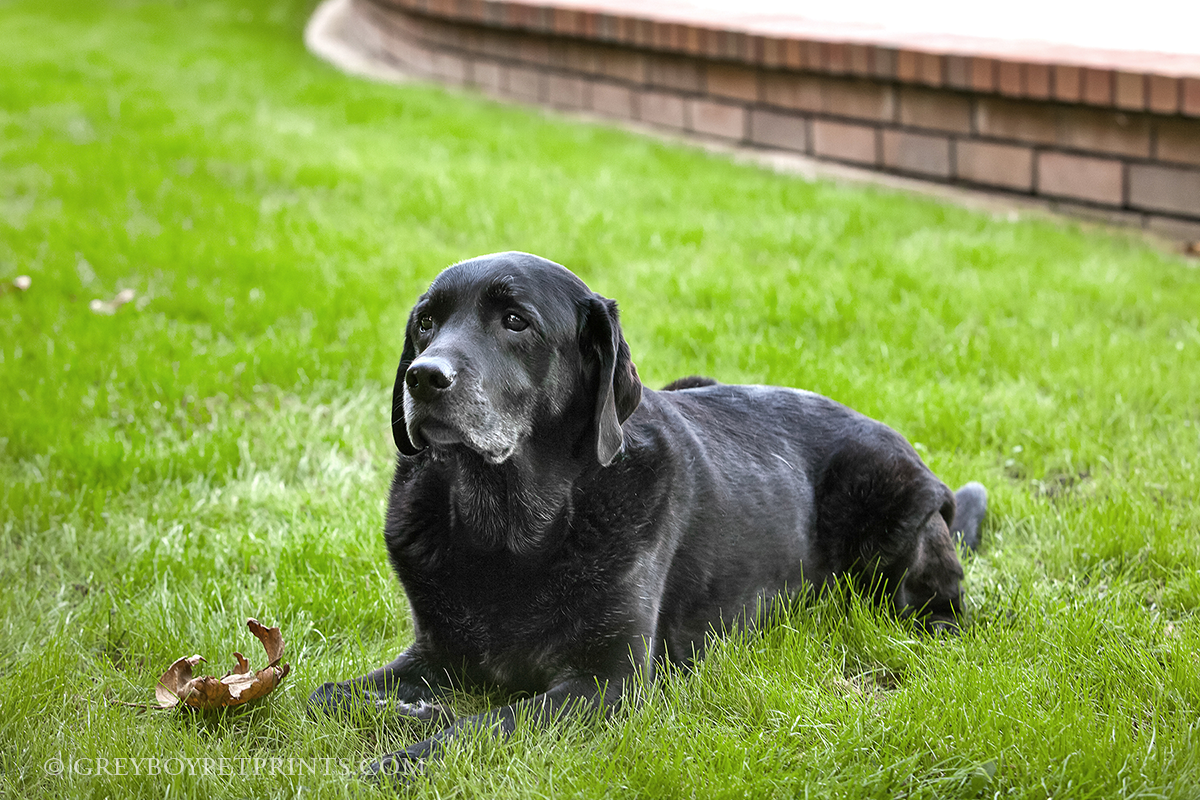 Black-Lab-Grass-Home-Photo-Session-SoCal