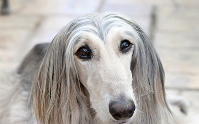Palm Springs Pet Photographer documents Afghan Hound Jake