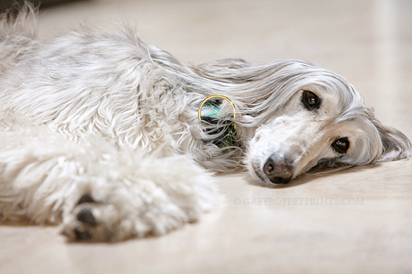 Palm-Springs-Pet-Photography-Hound