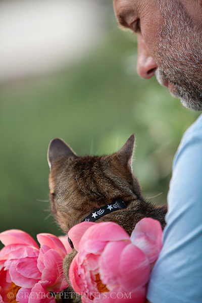 cat-photography-pink-peony-in-owners-lap