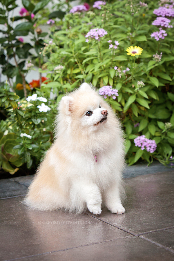 Dog-Photographer-OC-Pomeranian