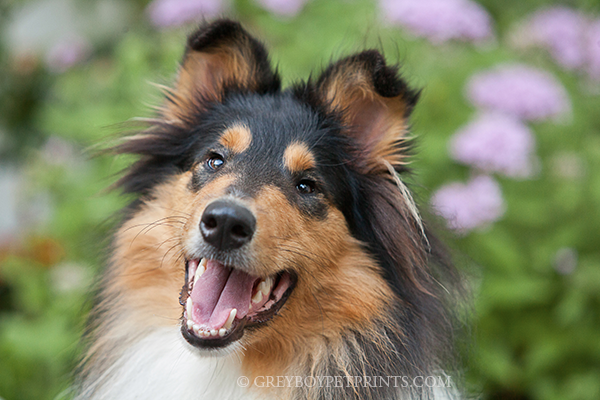 Dog-Photographer-San-Juan-Cap-Collie