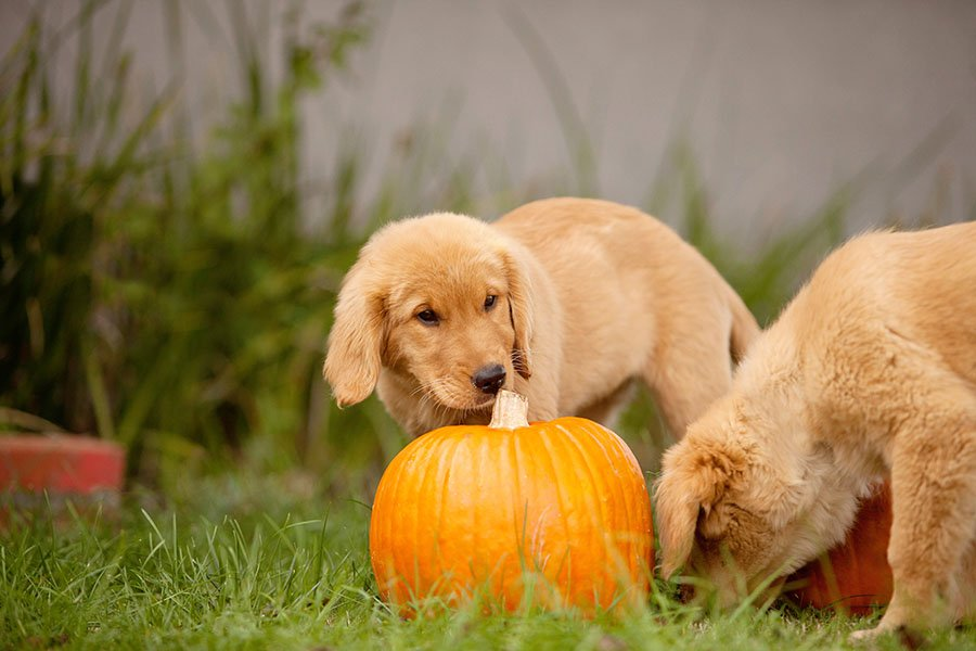 thanksgiving puppies by pumpkin
