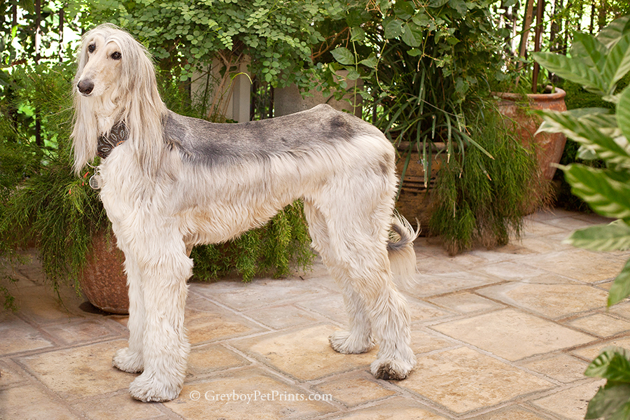 afghan-hound-portrait-at-home