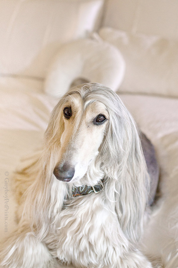 afghan-hound-portrait-on-bed