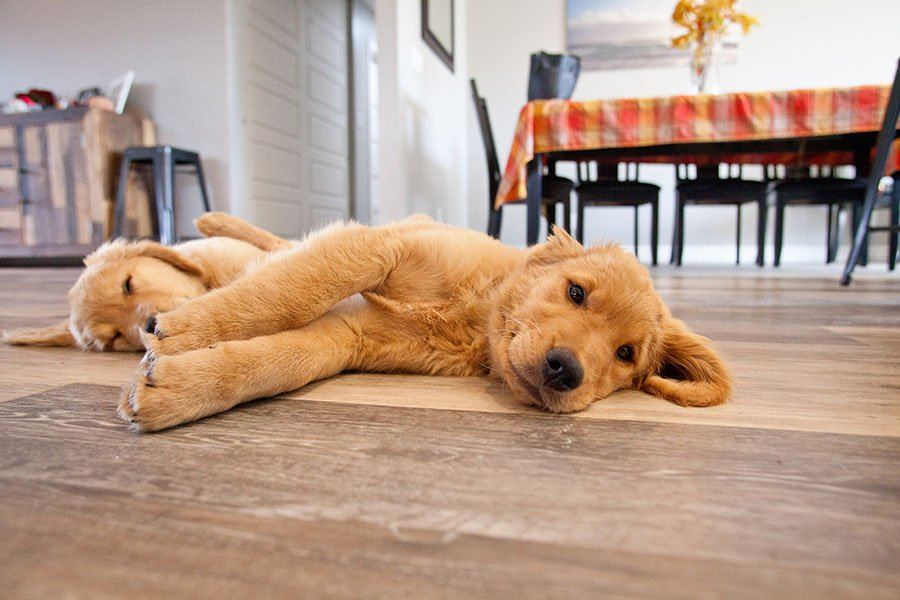 tired puppies passed out on the floor after portrait session with pet photographer