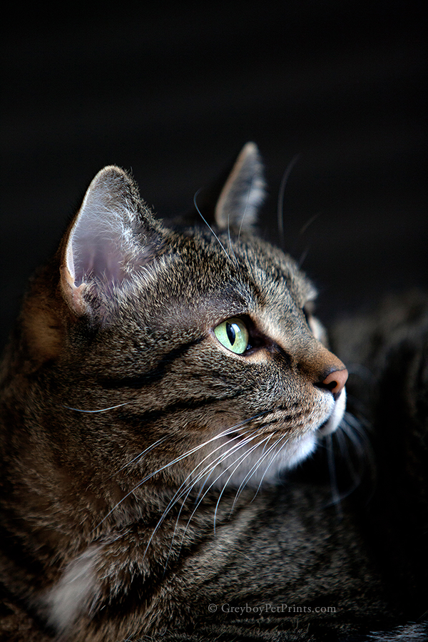 Tabby with black background photographed in Eagle Rock Pasadena by Greyboy Pet Prints