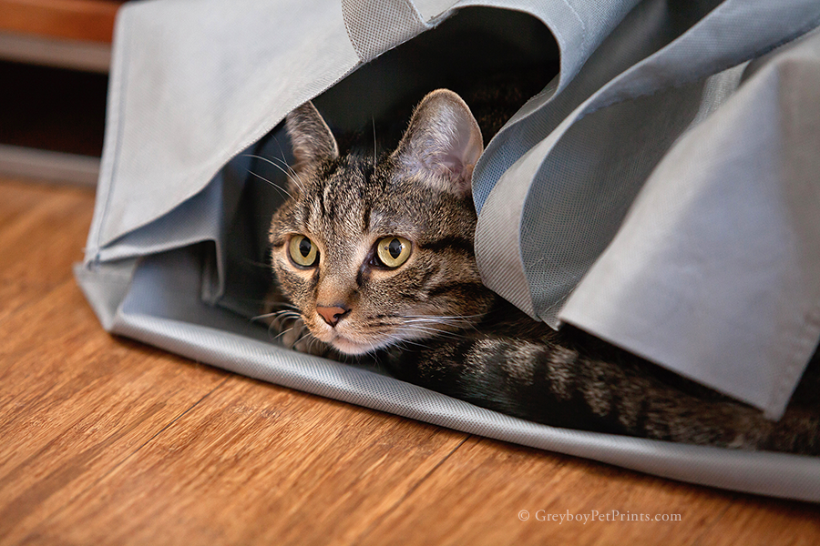 brown tabby hiding in gray bag on wood floor at the end of his cat photo session in Pasadena