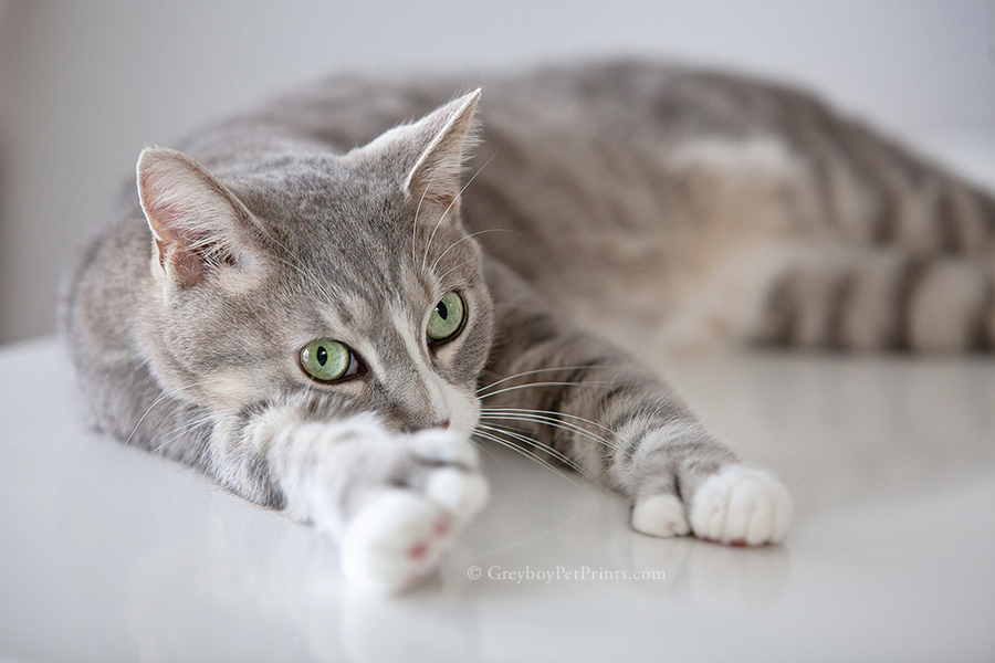 Gray and white tabby laying on the white kitchen counter after his portrait session at home in Eagle Rock LA