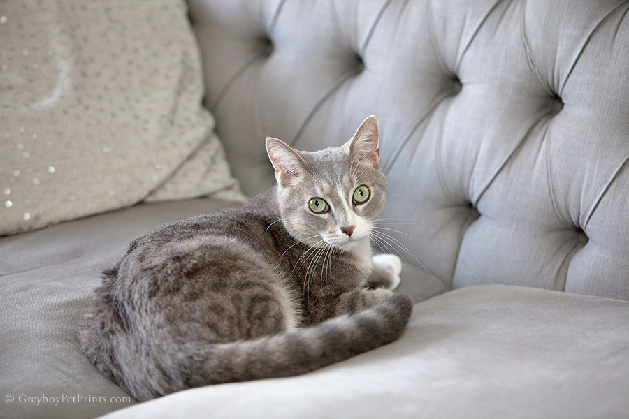Cute gray and white tabby cat laying on the couch at home for his photo session in Pasadena