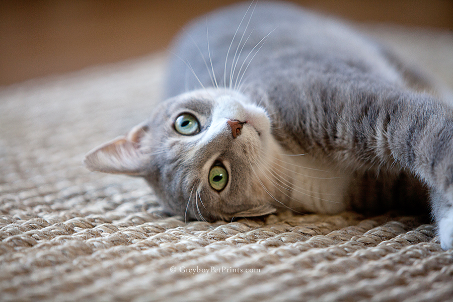 Silly tabby cat rolling on sisal rug during his photo session in Pasadena with Mandi of Greyboy
