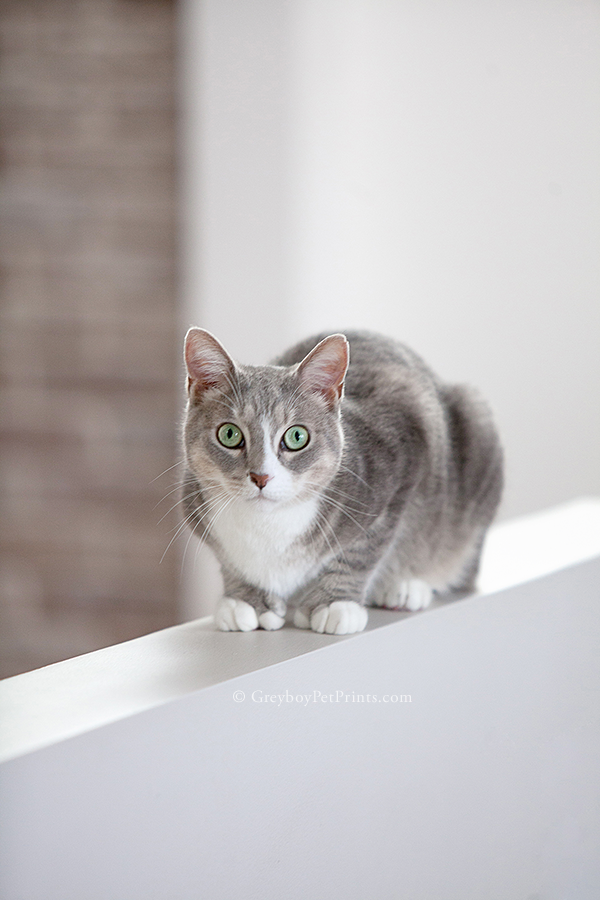 wide eyed gray and white kitty crouched on a ledge looking at the camera for Greyboy Pet Prints