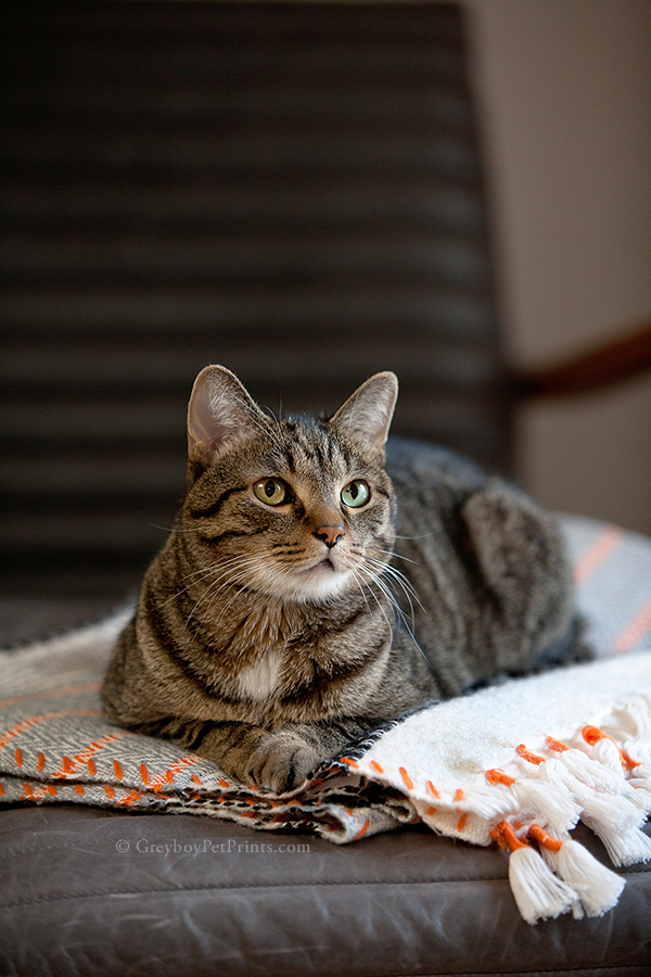 Handsome Tabby Big Boy Cat portrait at home on a blanket and gray chair