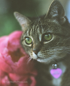 Tabby cat with pink peony flowers