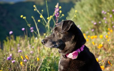 Photos With My Dog in the CA Wildflowers Super Bloom