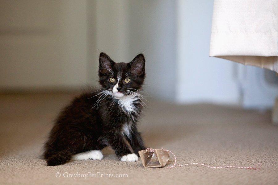 Black tuxedo kitten with homemade toy by orange county pet photographer Mandi