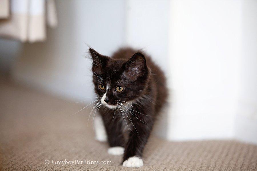 Black Tuxedo Kitten Hunting Stalking Walking at Home