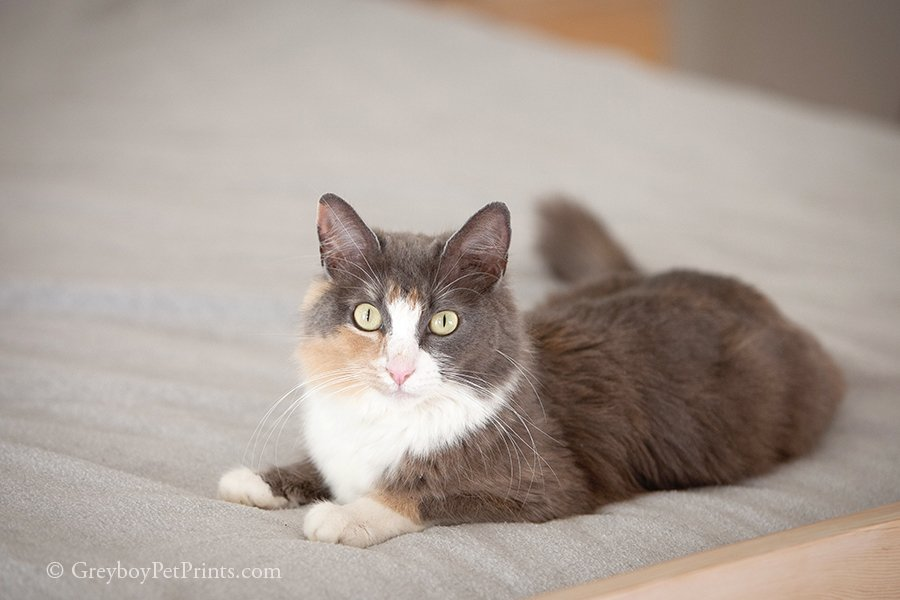 Beautiful Calico mom cat photo to help adoption chances