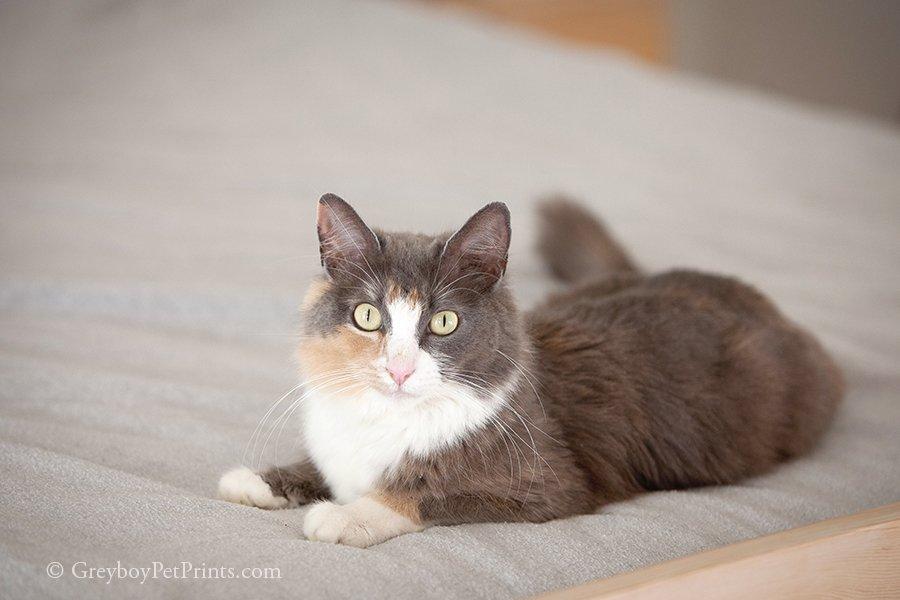 Beautiful Calico mom cat photo to help adoption chances