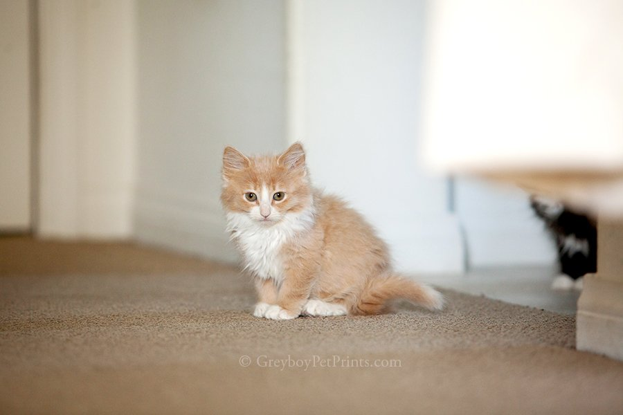 Orange Kitten Sitting Cute at Home Southern California for adoption
