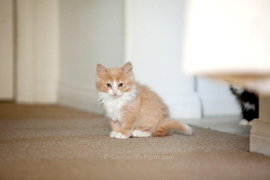 Orange Kitten Sitting Cute at Home Southern California for adoption