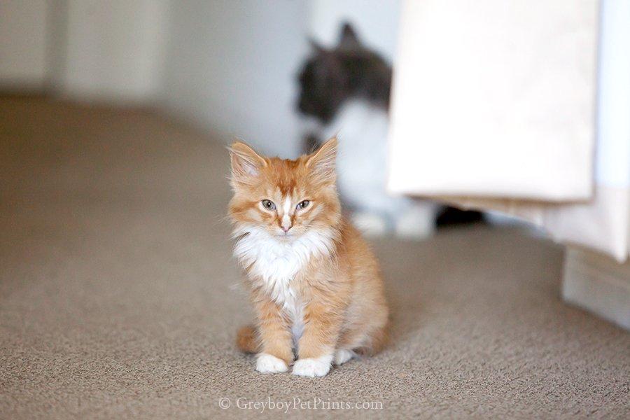 Sleepy Orange Baby Kitten Tiny