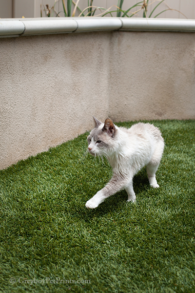 Cat photographed in his yard at home in southern ca